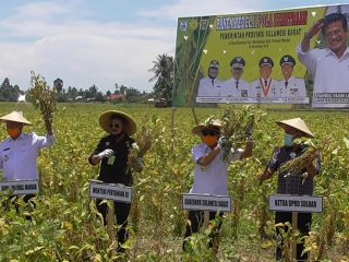 Sokong Ketahanan Pangan, Mentan SYL & Gubernur Sulbar Panen Kedelai di Polman